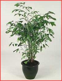 أنواع أشجار نخيل الزينة  Fishtail_palm